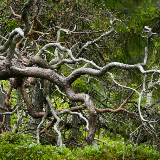 """Twisted branches"" stock image"