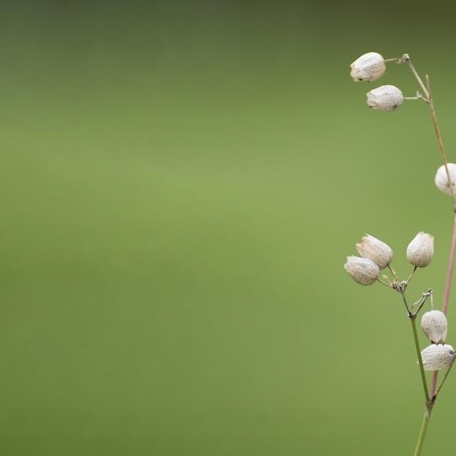 """""""White Bladder Campion Wildflower"""" stock image"""