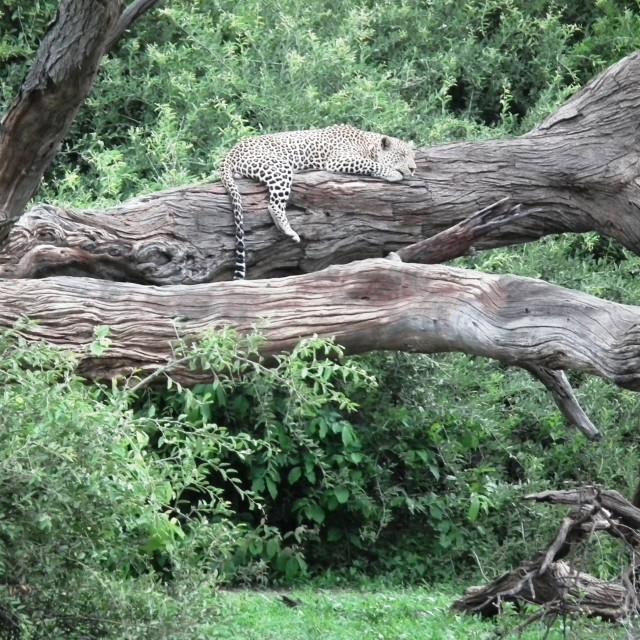 """""""Leopard, Okavango Delta"""" stock image"""