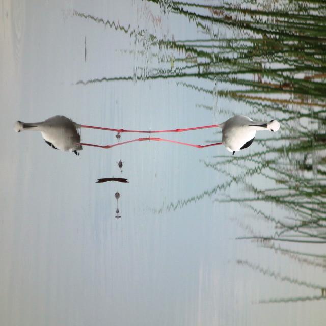 """""""Plover, Okavango Delta"""" stock image"""