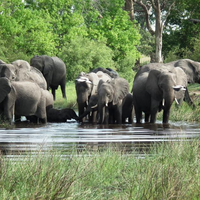 """""""Elephant herd , Okavango Delta"""" stock image"""