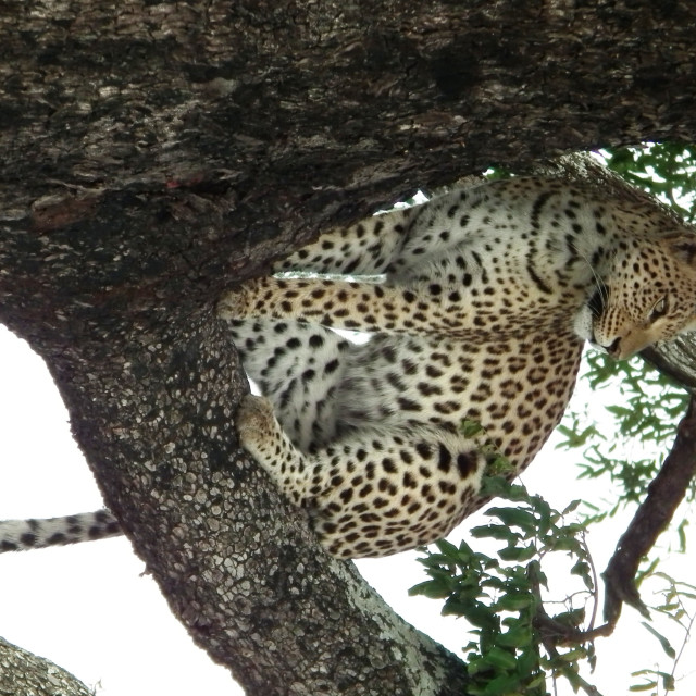 """Leopard in a tree"" stock image"