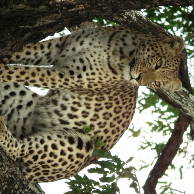 """Leopard in a tree, Okavango Delta"" stock image"