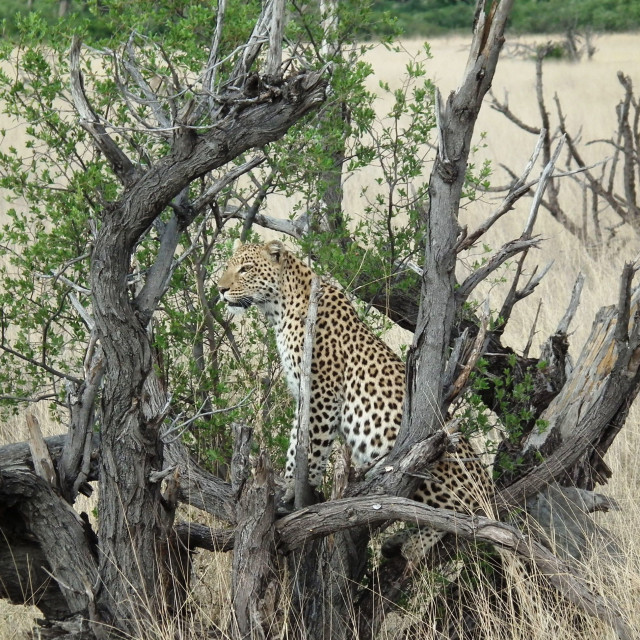 """Leopard sitting in a low tree"" stock image"