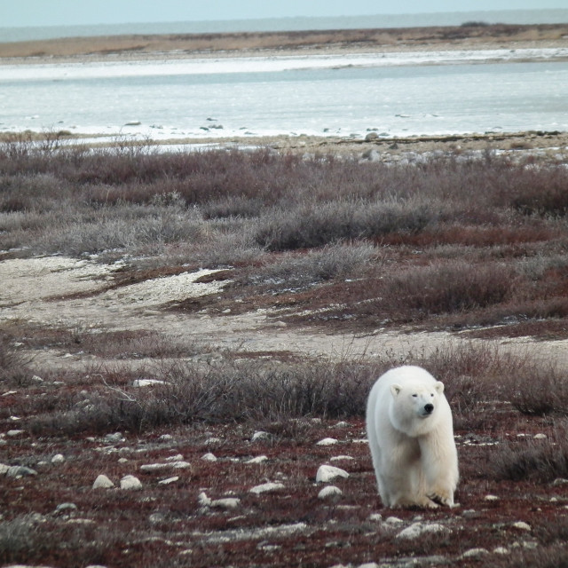 """Polar Bear, Churchill, Canada"" stock image"