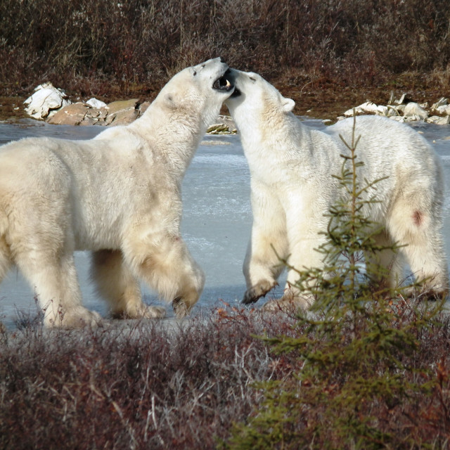 """Polar bears, Churchill"" stock image"