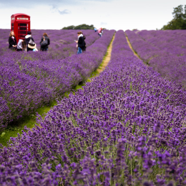 """Red Telephone Box in a Lavender Field"" stock image"