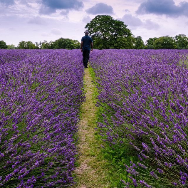 """The Lavender Field"" stock image"