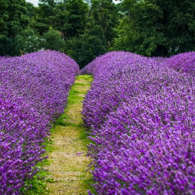"""Rows of Lavender"" stock image"