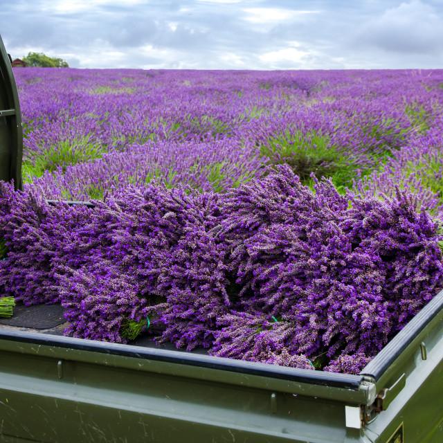 """Harvested Lavender"" stock image"