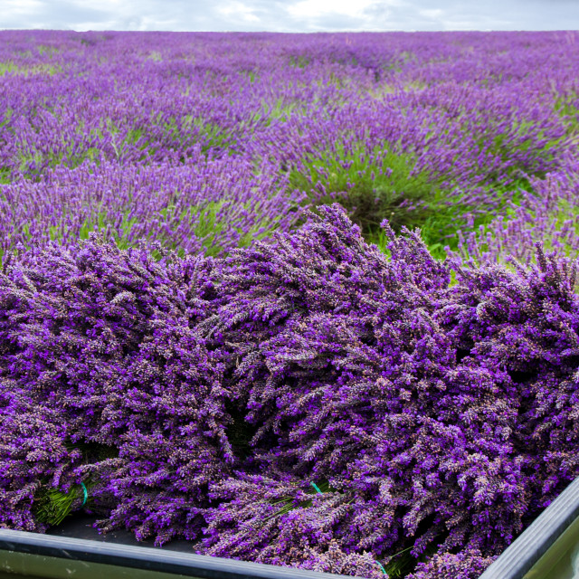 """Harvested Lavender"" stock image"