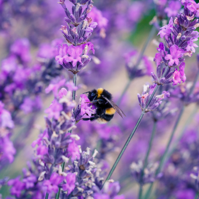 """Bee on Lavender Flower"" stock image"