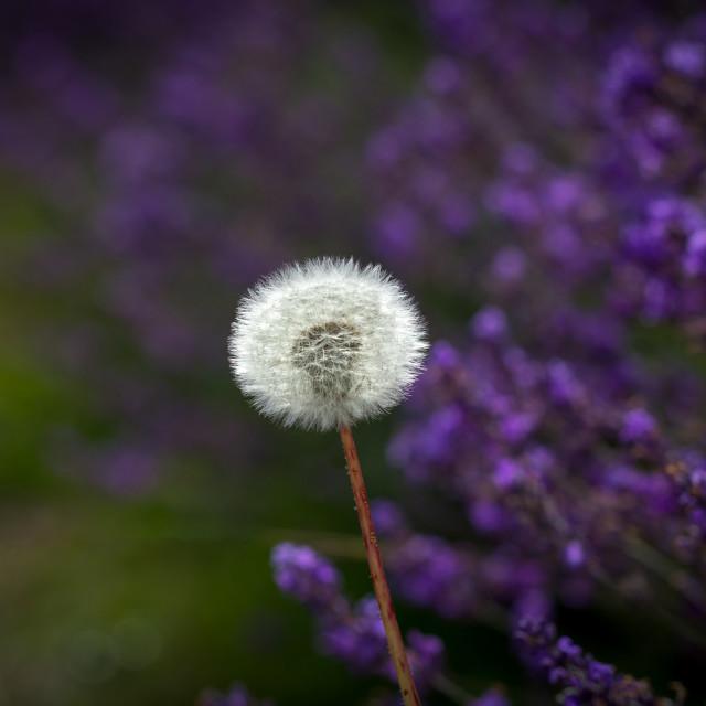 """""""Dandelion on a Lavender Background"""" stock image"""