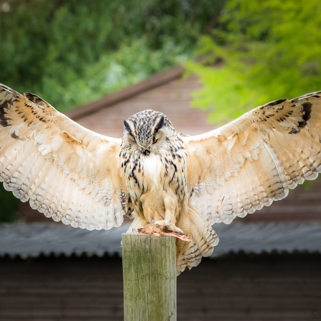 """""""Eagle Owl"""" stock image"""