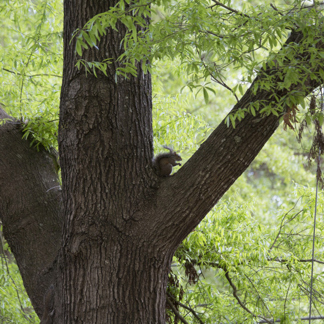"""""""Eastern Gray Squirrel"""" stock image"""