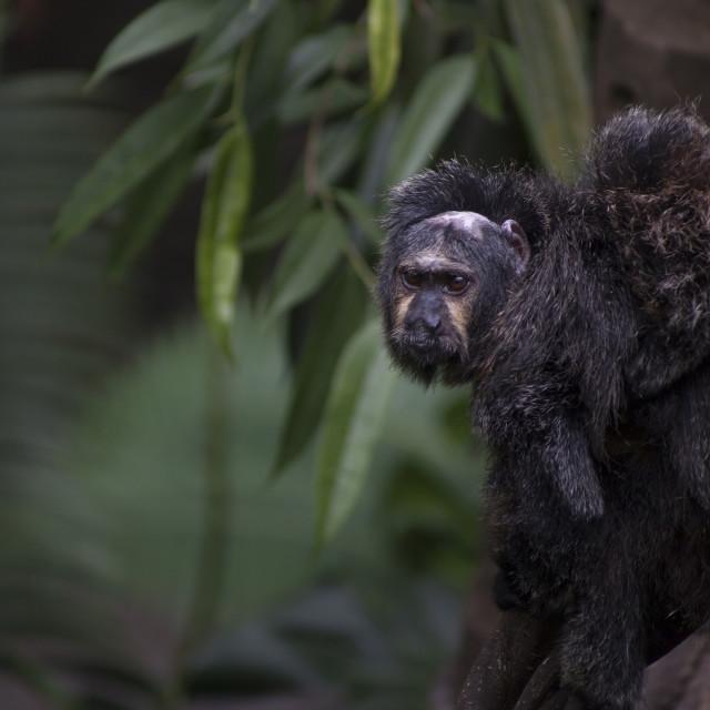 """""""Saki Monkey Family"""" stock image"""