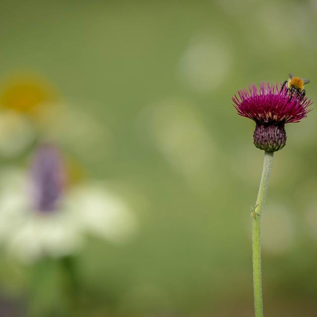 """""""Bumblebee"""" stock image"""
