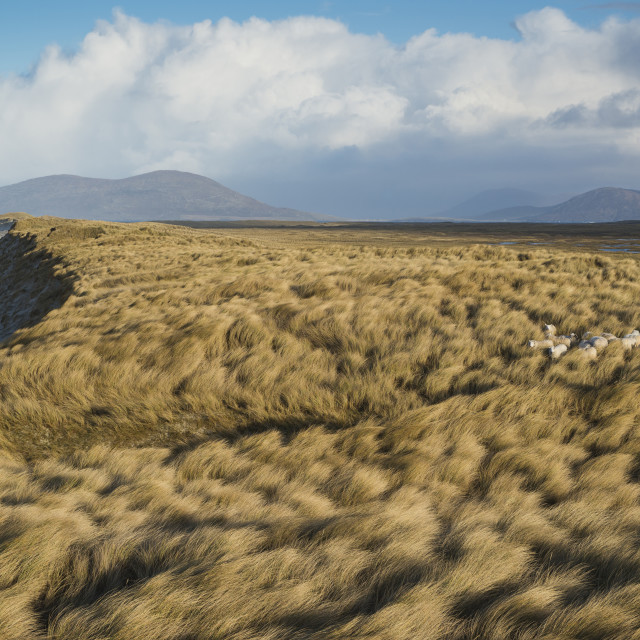 """Sheep hide among dune grass at west coast beach, Berneray, Outer Hebrides,..."" stock image"