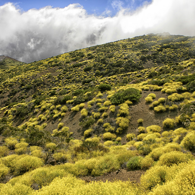 """Late Spring Flowers In Bloom Near Spain's Highest Mountain At El Teide On..."" stock image"
