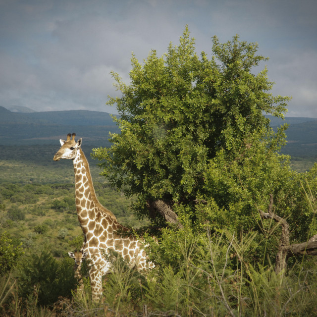 """""""A giraffe and her offspring, Hluhluwe-Imfolozi Game Reserve."""" stock image"""