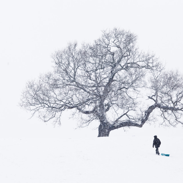 """Lone Man pulling sledge under tree in heavy snowfall"" stock image"