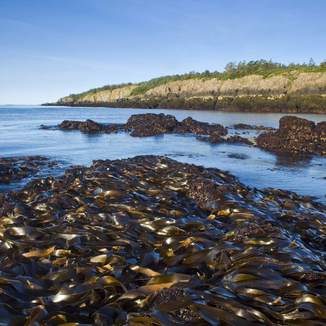 """Kelp Bed, Basalt Rock Cliffs, Bay Of Fundy; Brier Island, Nova Scotia, Canada"" stock image"