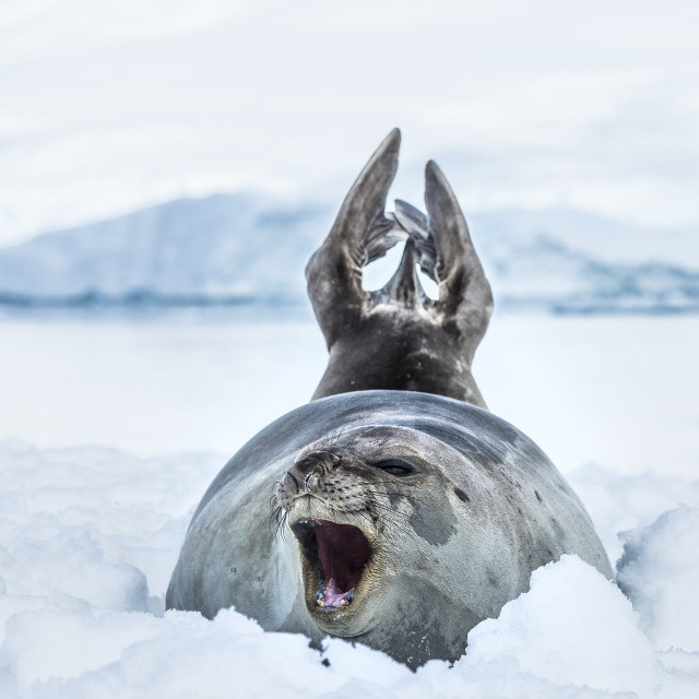 """Southern Elephant Seal (Mirounga Leonina) With It's Mouth Open, Neko Harbour,..."" stock image"