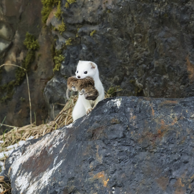 """Short-Tailed Weasel (Mustela Erminea) With Fresh Kill In It's Mouth, Portage..."" stock image"