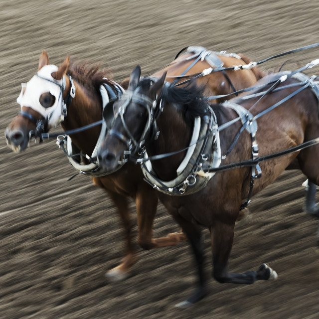 """Horses In A Chuckwagon Race, Lakeview Calgary Stampede Event; Calgary,..."" stock image"