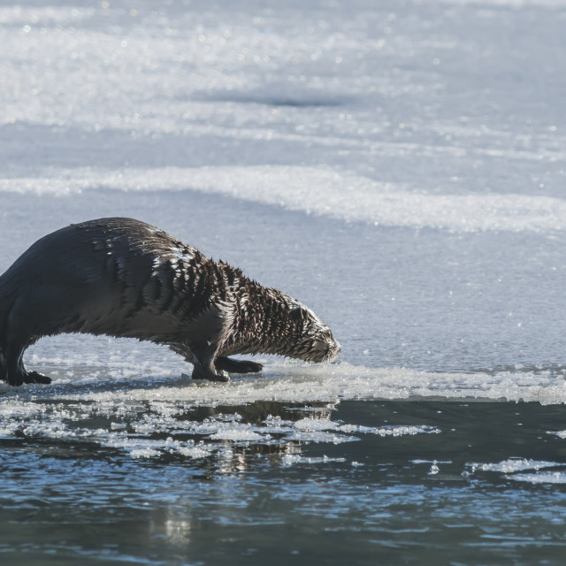 """North American River Otter (Lontra Canadensis) On Frozen Eyak Lake Near..."" stock image"