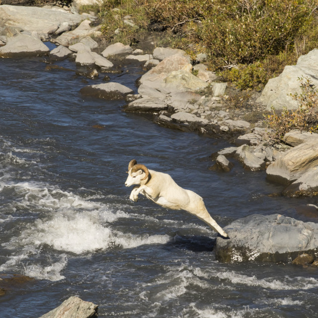"""""""Dall Ram (Ovis Dalli) Makes A Long Jump Across The Savage River In Late..."""" stock image"""