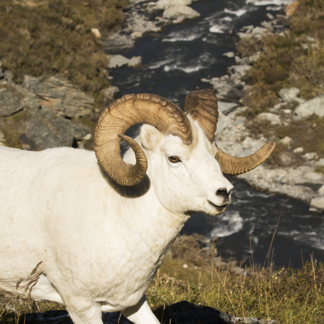 """""""Dall Ram (Ovis Dalli) With The Savage River In The Background, Denali..."""" stock image"""