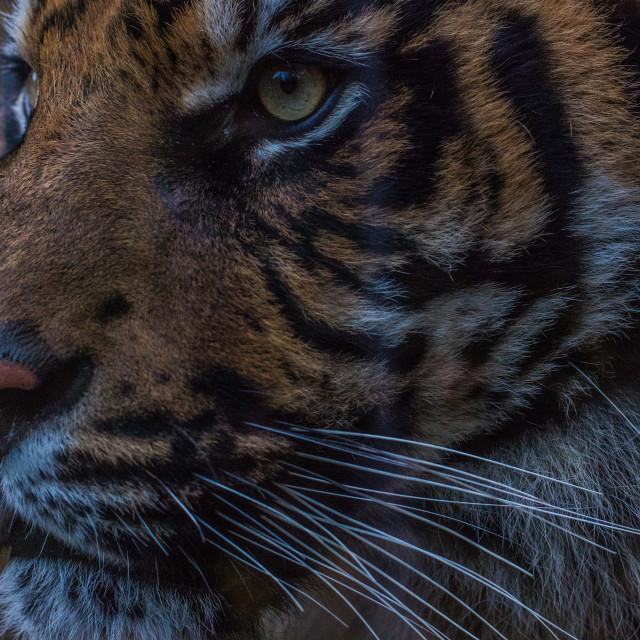 """""""Tiger Closeup!"""" stock image"""