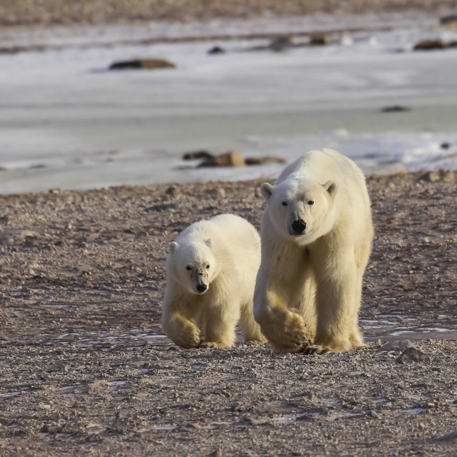 """Polar Bear (Ursus Maritimus) And Cub Walking Side By Side On The Shore;..."" stock image"