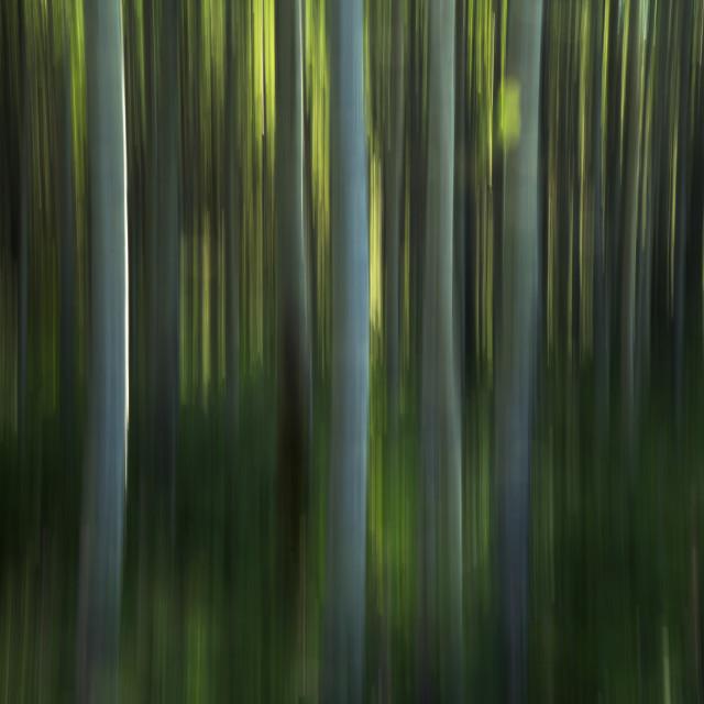 """Motion Panning Of Poplar Trees; Yukon, Canada"" stock image"