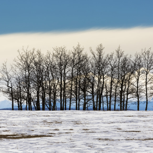 """A Row Of Trees In A Snow Covered Field With A Bank Of Cloud And Blue Sky In..."" stock image"