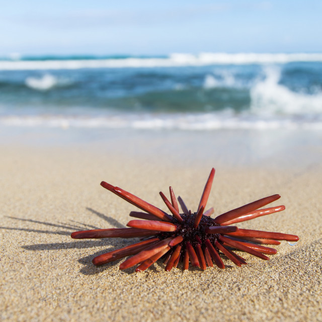 """A Red Slate Pencil Urchin (Heterocentrotus Mamillatus) Sounds On The Sand At..."" stock image"