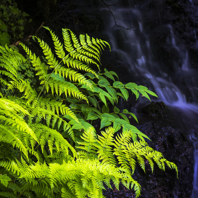 """""""Plants Grow Beside A Small Stream At Silver Falls State Park; Silverton,..."""" stock image"""