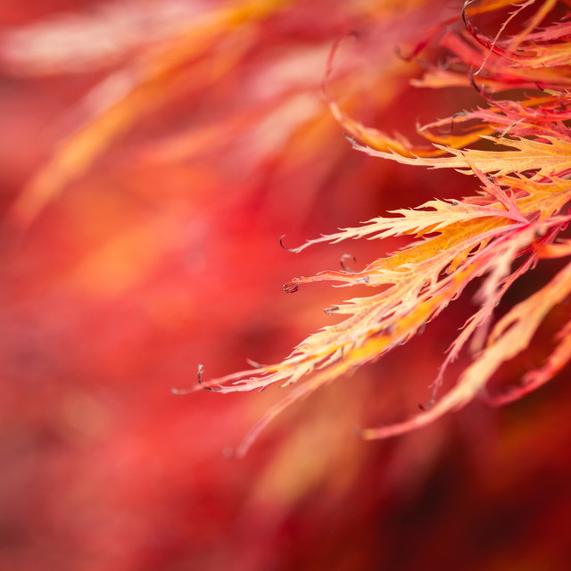 """Acer in Autumn"" stock image"