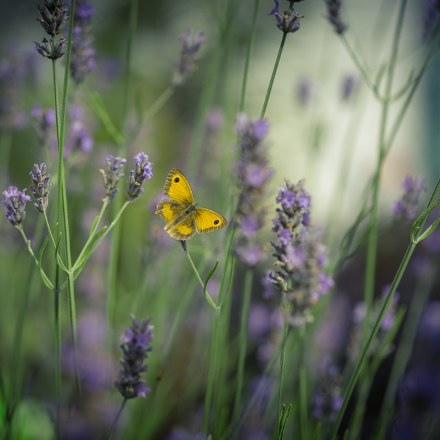 """Butterfly in Lavender"" stock image"