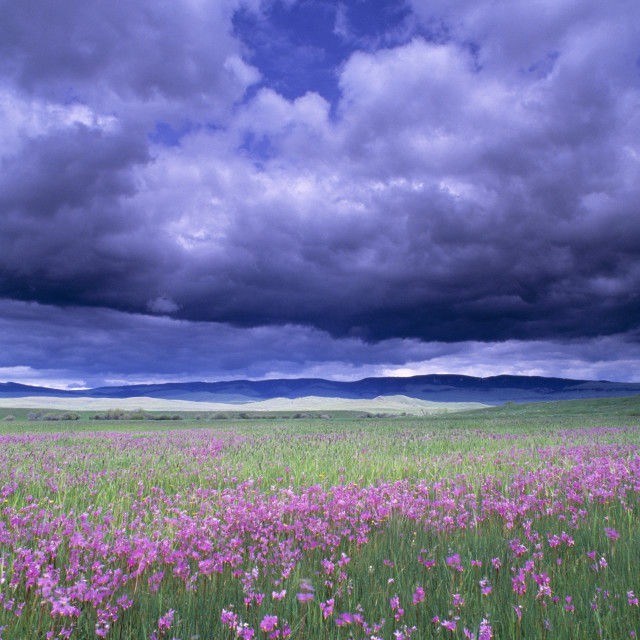 """""""Stormy Clouds Approaching Field Of Shooting Star Wildflowers"""" stock image"""