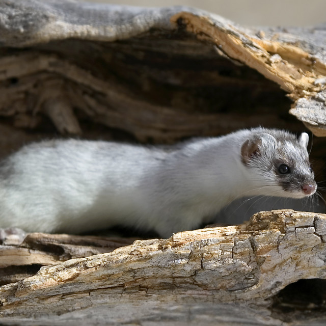"""Long Tailed Weasel"" stock image"