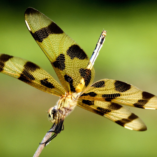"""""""A Halloween Pennant Dragonfly Perched On A Stick"""" stock image"""