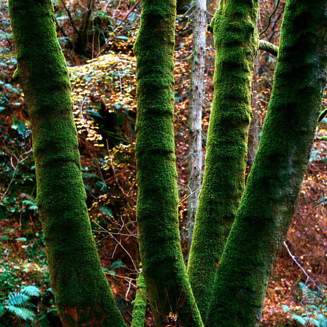 """Lichen Covered Trees; Ireland"" stock image"