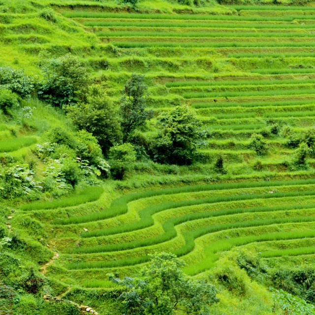 """Rice Terraces, China"" stock image"