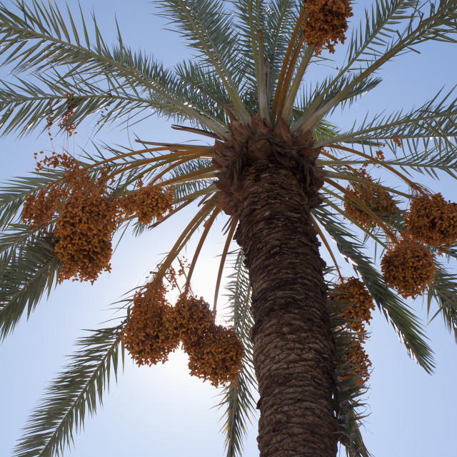 """""""Low Angle View Of A Date Tree With Sunlight And Blue Sky; Palm Springs,..."""" stock image"""