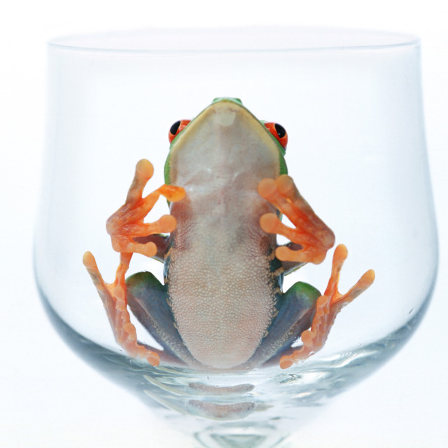 """Red Eyed Tree Frog In Glass"" stock image"