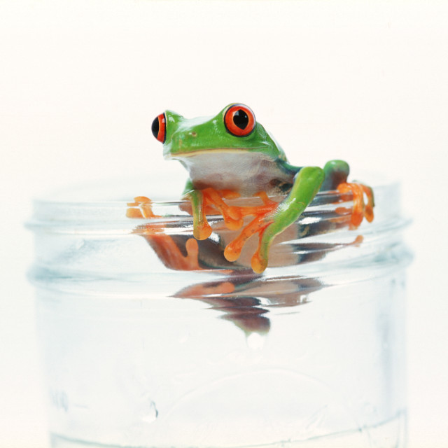 """Red Eyed Tree Frog Hanging On"" stock image"