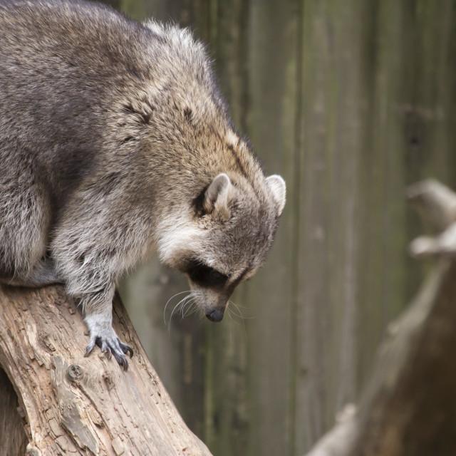 """""""Raccoon, Washing Bear (Procyon lotor)"""" stock image"""