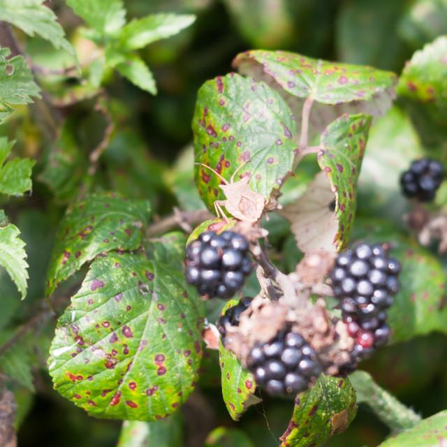 """big dock bug on blackberries outside Coreus marginatus"" stock image"